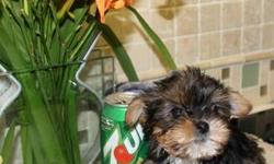 Yorkie Litter Born April 22nd , 2013 ? 6 puppies in litter ? 4 are Available. One Male Toy, One Female Toy, Two Twin Females SUPER Super Tiny: Toy Male $600.00, Toy Female $650. The twins call for pricing!!!!! 631-896-7090