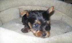 Born 4/7/14, ACA Mother Bree (black & beautiful reddish brown female) mated with tiny teacup ACA (black&brown) Monty. 6/2/14 Bree's ACA Purebred Yorkie puppie will be ready for their new furever homes. There is one male, with tail docked, first puppy