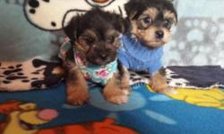 1 female & 1 male Ready 12-5-14 Tail docked 1 shots Dewormed Puppy pad trained Mom is 6 pounds Dad is 7 pounds Both on premises Super adorable little teddy bears
