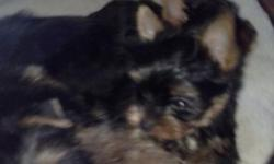 yorkishire terrier puppy 8 wks full breed males 500 tiny parents AKC four 3 pound shots wormed verycute tails docked and dewclaws removed each.best to reach me by phone 585 7987980 571 4990467 call me anytime