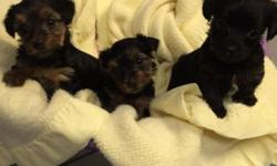 Yorky poo puppies. 1st shots 1st worming tiny. Ready to go first week of April. Deposit will hold. . 585 7468674