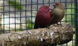 i have a pair of Red-billed Fire finch for trade for gouldian finch please call me